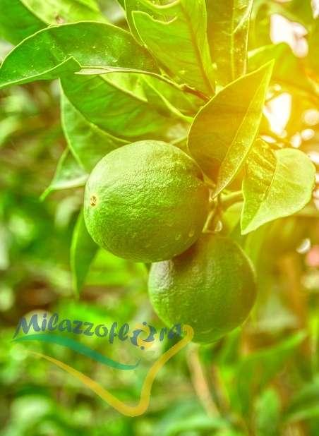 Le Limettier ou Citron vert