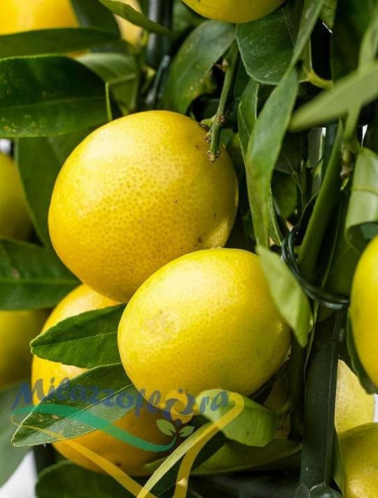 Citrus Limequat