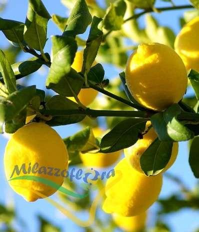 Le Citronnier