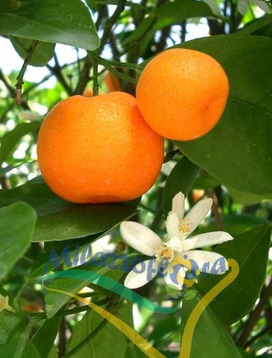 The Mandarin Orange