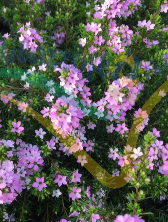 Buisson confetti rose