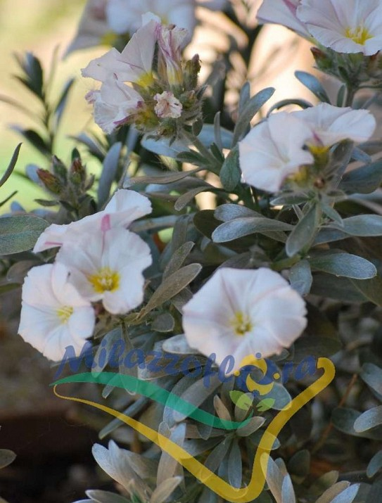 Silverbush or Shrubby bindweed