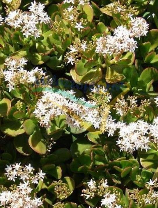árbol de jade