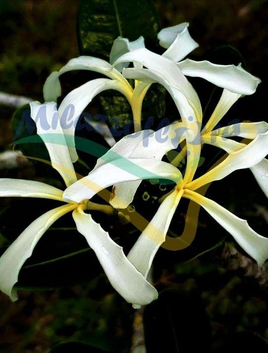 Plumeria cubensis