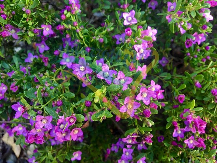 Boronia: particolare del fiore