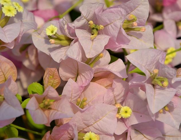 Yuyu Light Blue Bougainvillea Plants