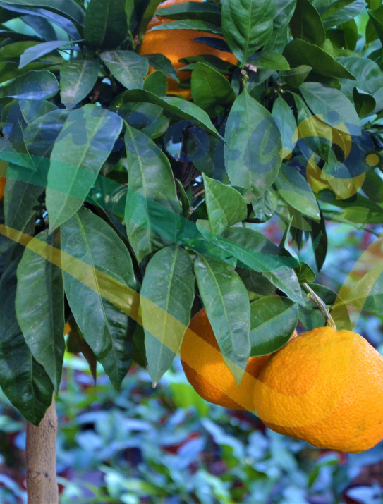 The Satsuma Mandarin