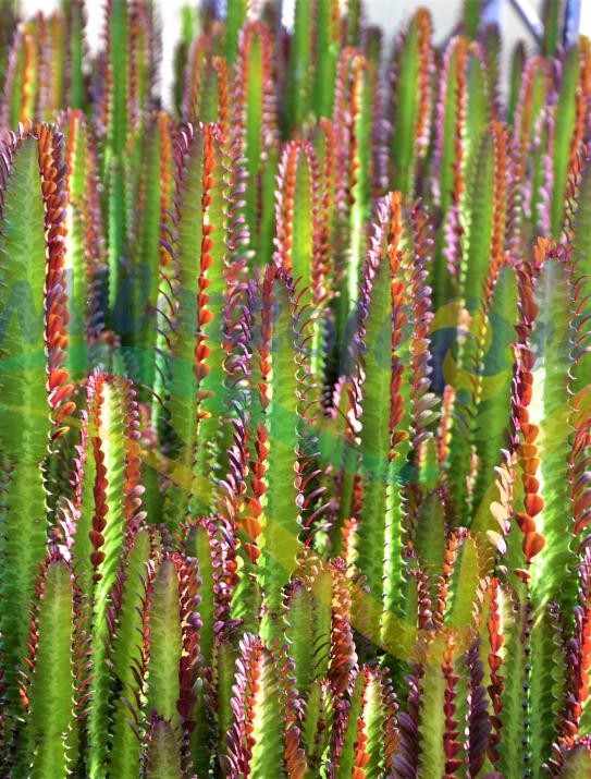 L'Euphorbia Trigona Rubra