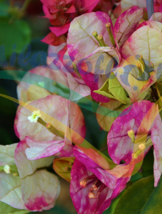 Bougainvillea Mix color