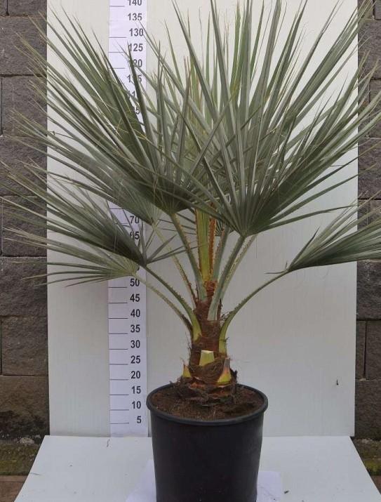 Le Palmier bleu du Mexique