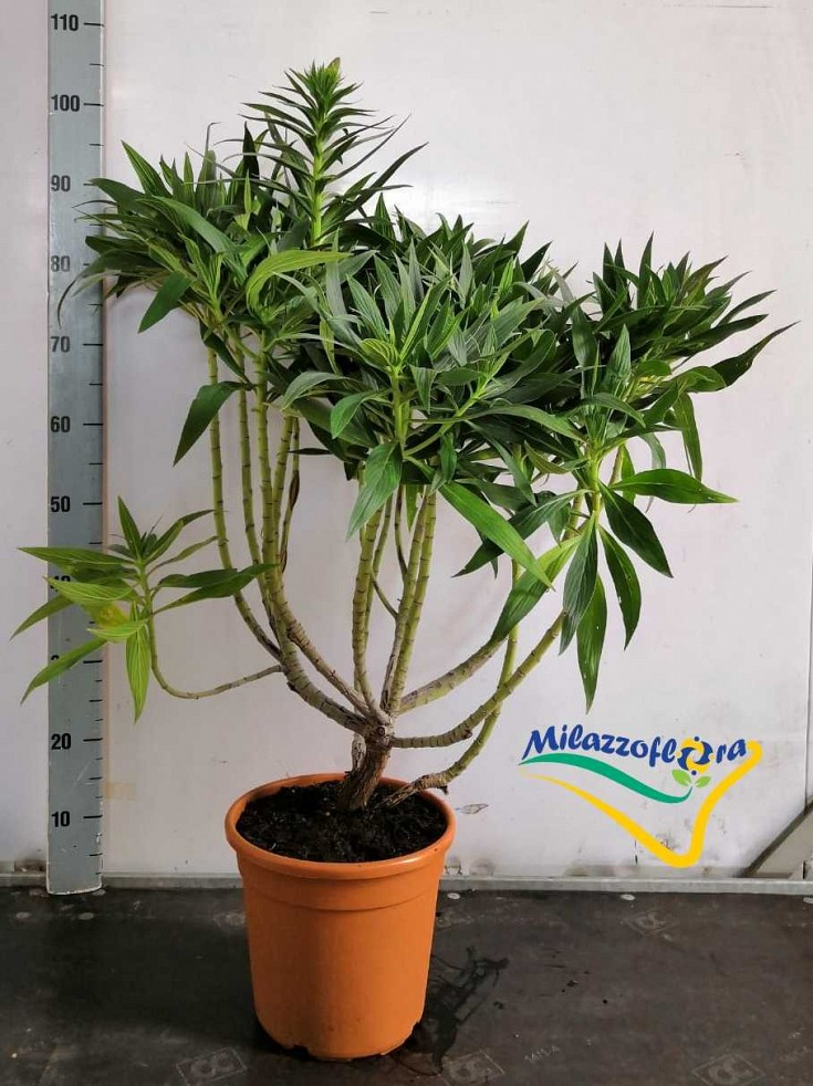 Bush Pot 22
