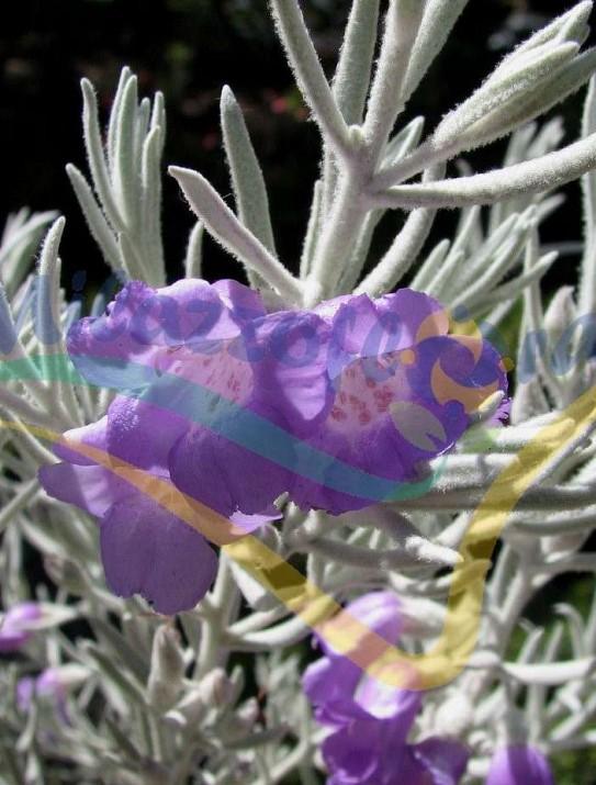 Eremophila soyeux,