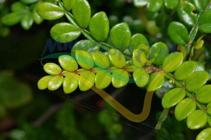 Particolare delle foglie aromatiche