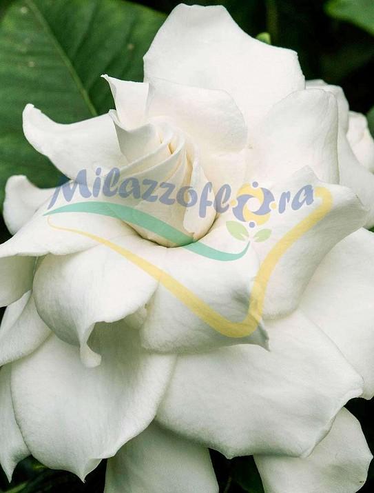 Cape jasmine