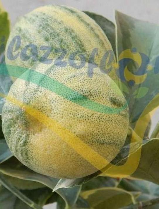 Le citronnier panaché