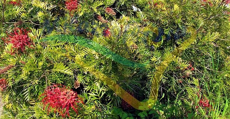 Pianta adulta in giardino allevata a cespuglione