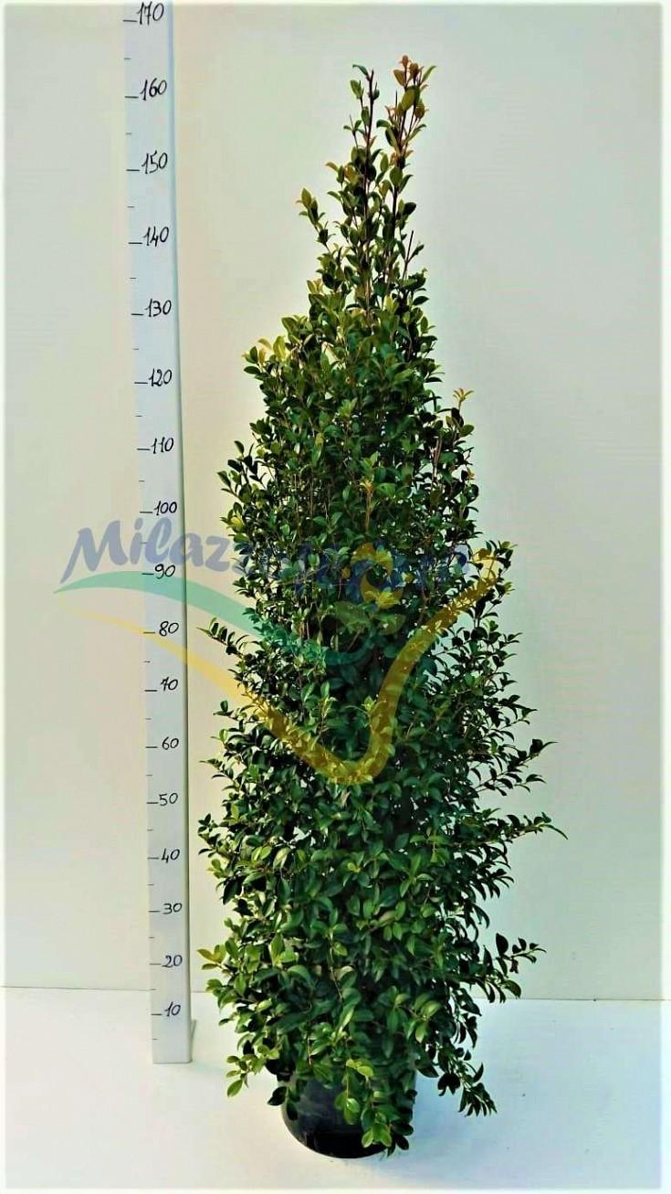 Bush Pot 26