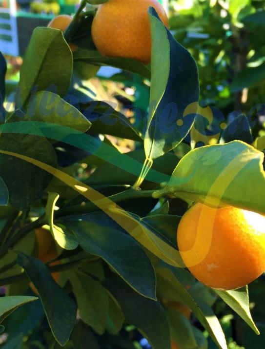 Citrus japonica llamada 'Marumi';