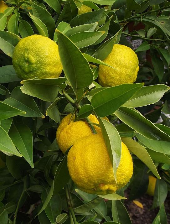 Citrus junos