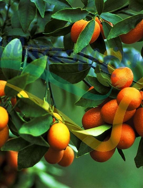 Kumquat nagami (à fruit ovale)