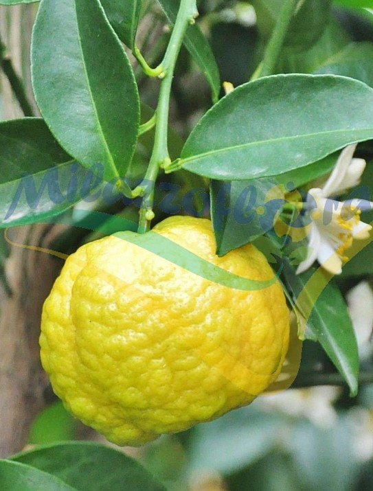 The sweet lime from Rome
