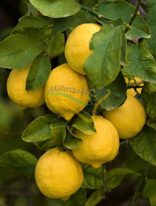 Le Citron de Syracuse