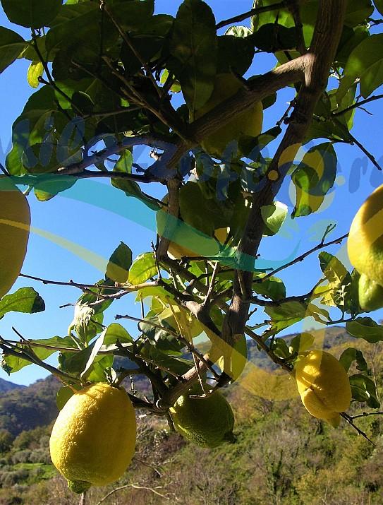 Limòn