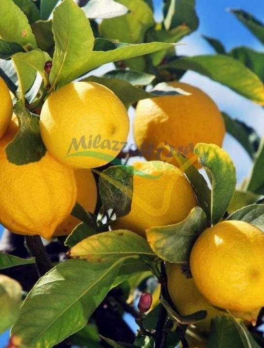 El limonero de Sorrento