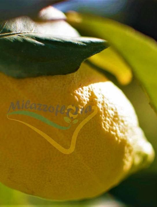 Citrus limon