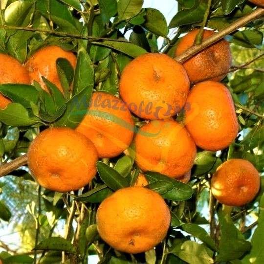 Las naranjas tangerinas