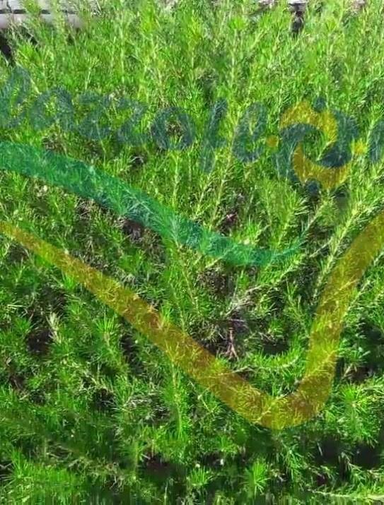 Grévillier à feuilles de genévrier