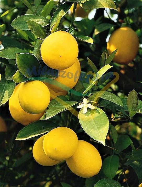 The Meyer lemon