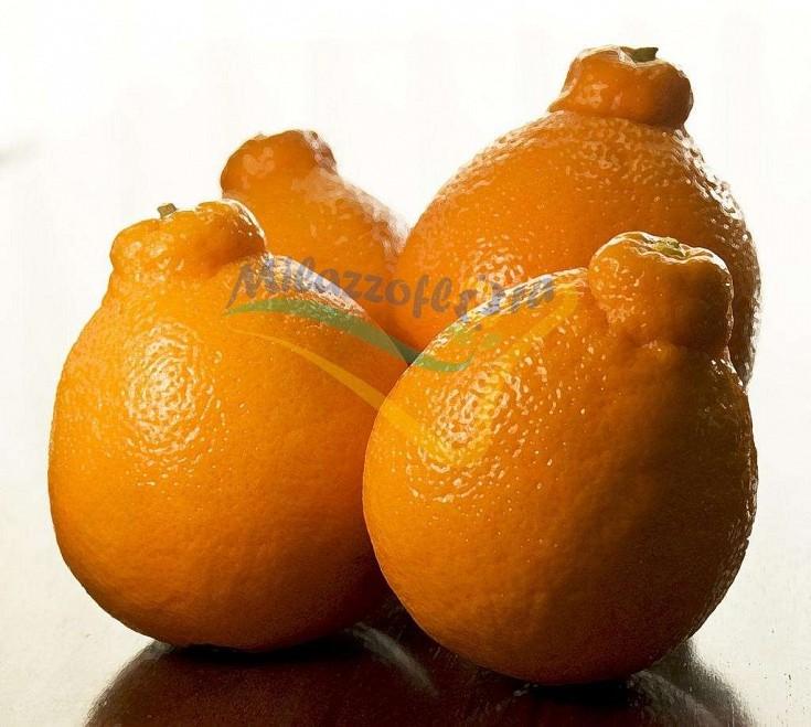 La varietà Minneola è un ibrido delle varietà di pompelmo 'Duncan' e del mandarino 'Dancy'