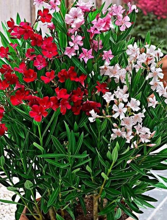 Nerium Oleander Multicolor