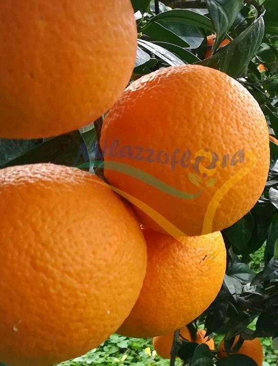 La naranja washington navel