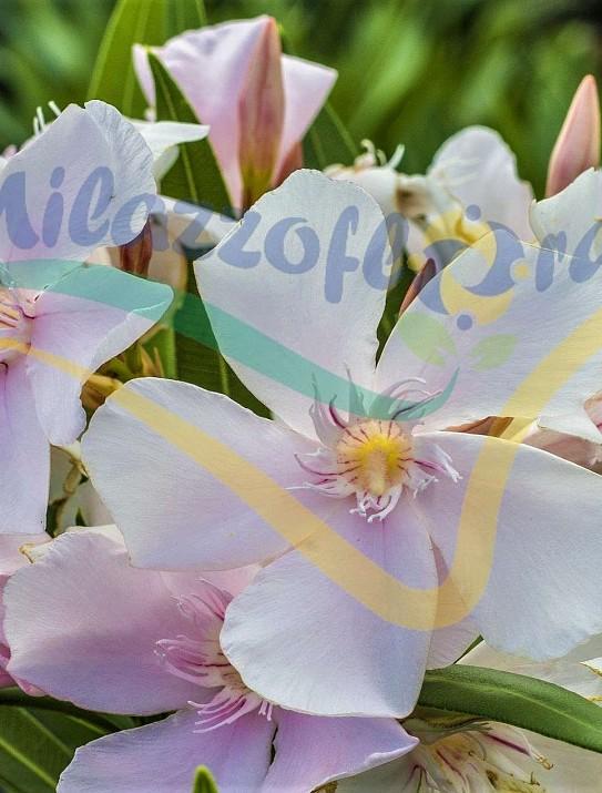 Nerium Oleander VRS