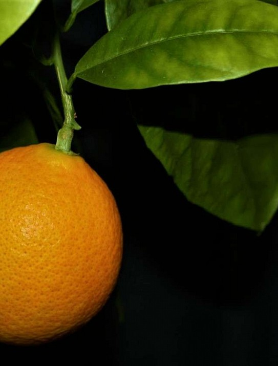 The Calabrese orange