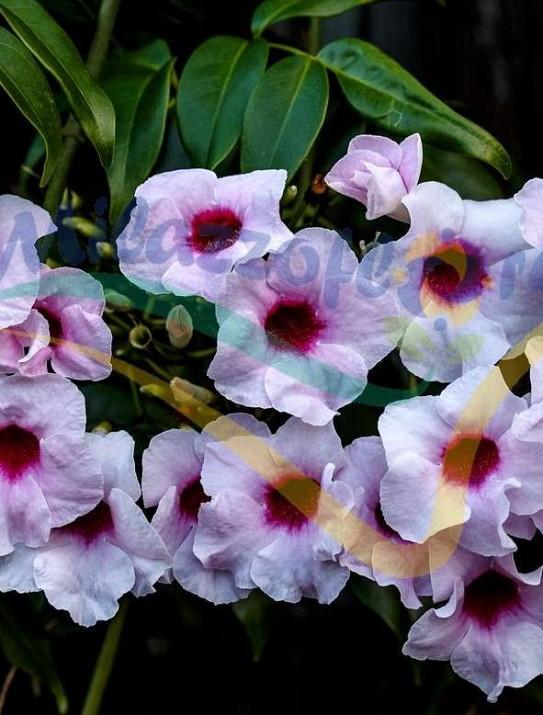 Bignonia blanca