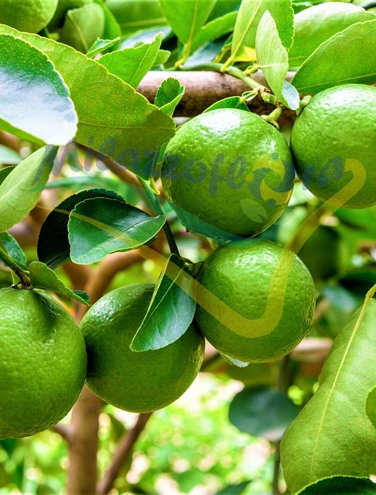 Citrus x latifolia