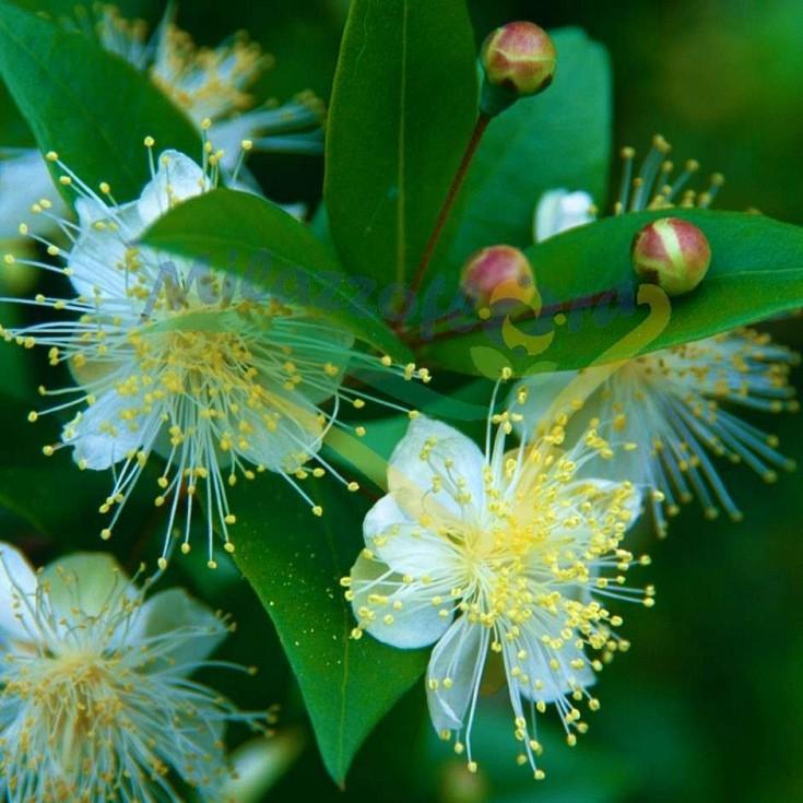 Particolare del fiore di Myrtus