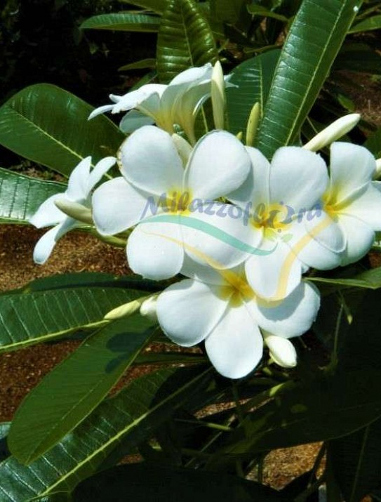 Wild frangipani