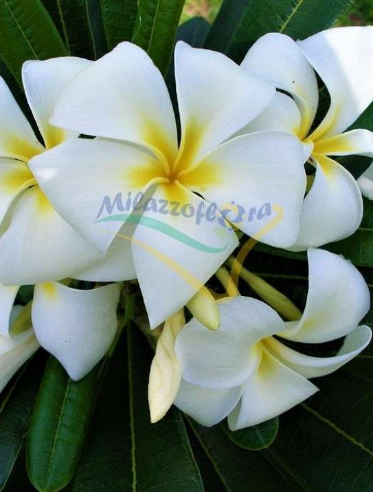 The Singapore graveyard flower