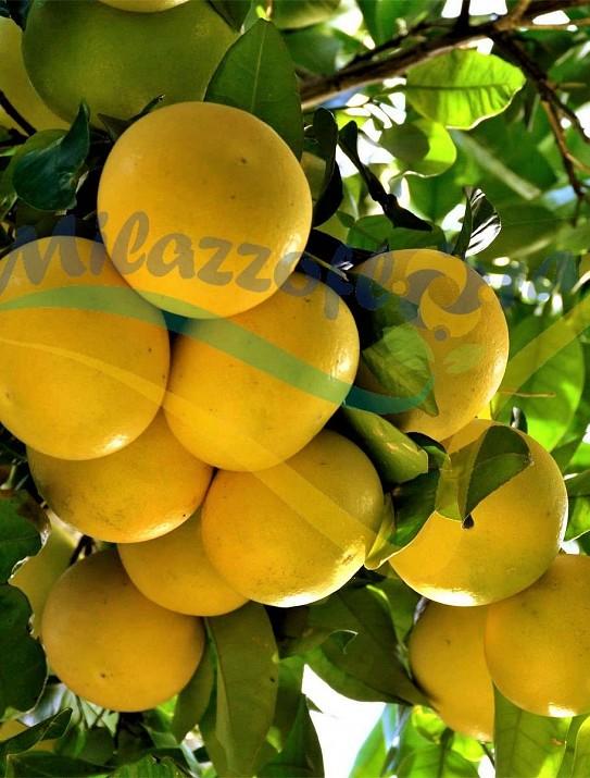 El árbol del pomelo (Citrus × paradisi)