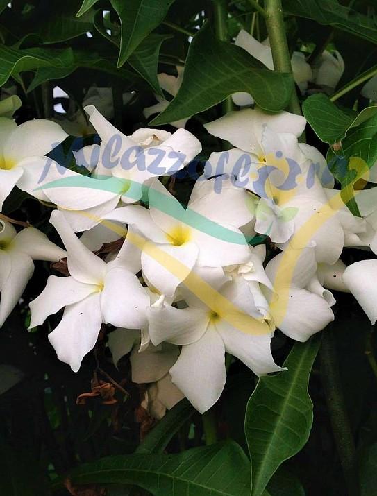White frangipani