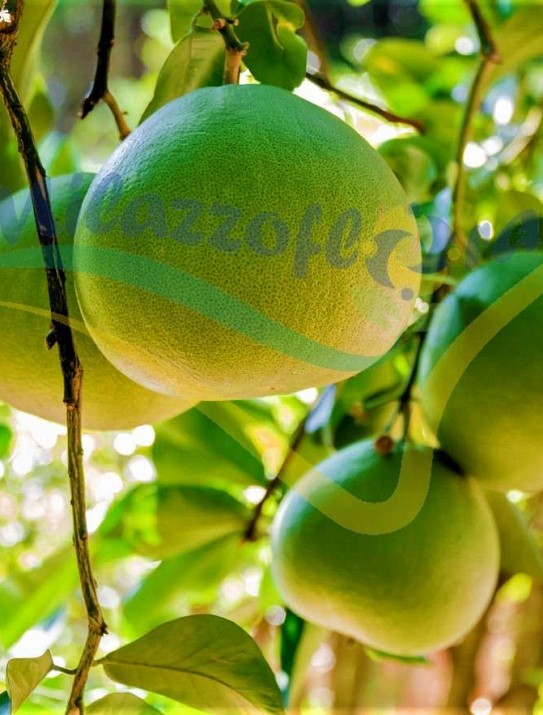La pamplemusa/Limonzon/Citrus grandis