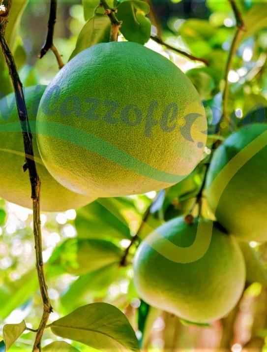 Le Pamplemoussier (Citrus maxima)