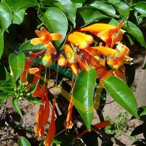 Orange trumpetvine