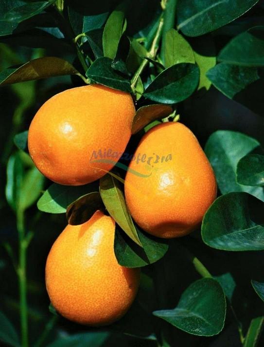 Jiangsu kumquat
