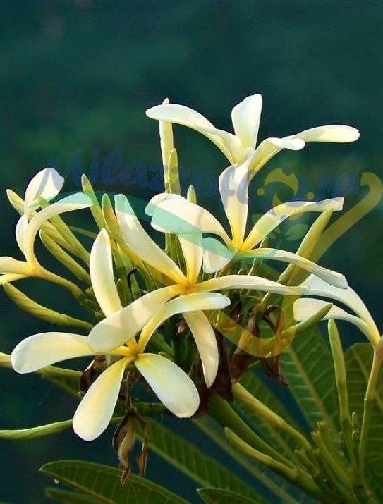 Plumeria stenophylla