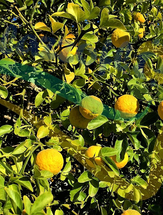 The trifoliate orange